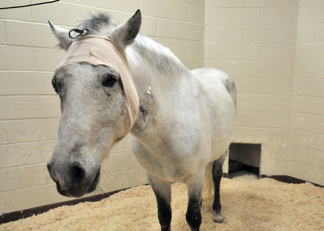 Picaro in his stall at the Cummings School.