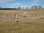 The red-tailed hawk takes flight shortly after release from the Tufts Wildlife Clinic.