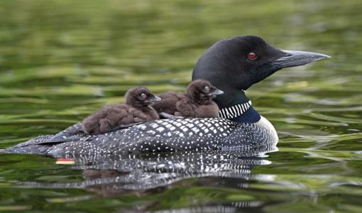 Loons not likely killed by gunshots