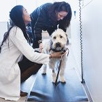 12/15/2016 - Grafton, Mass. - Christine Yee, V17, weighs Tricia LaCasia's dog brings Marley, a Wheaton Terrier before an internal medicine appointment at the Foster Hospital for Small Animals on December 15, 2016. The Cummings School of Veterinary Medicine recently completed an expansion and renovation of the lobby, examination rooms and areas of the ER at the on-campus hospital. (Alonso Nichols/Tufts University)