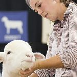 "09/18/2017 - West Springfield, Mass. - Rachel Gately, Clinical Assistant Professor of Environmental and Population Health, shows ""Olive Junior"" AKA ""OJ"", a Dorset breed of sheep at the Big E, The Eastern States Exposition"" on September 18, 2017. The Big E is the largest agricultural event on the eastern seaboard. Two of her sheep have qualified to move on to the national competition. Dr. Gately has been showing sheep since she was a child. (Alonso Nichols/Tufts University)"