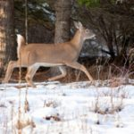 A side view portrait of a white tail deer walking in winter near Hayden Lake,
