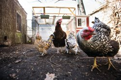 Image for Backyard Chickens and the Risk of Lead Exposure