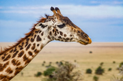 Image for Giraffes Under Parasitic Attack?