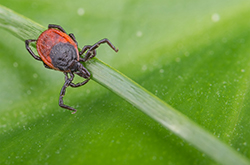 Image for Lyme disease now, EEE could soon follow