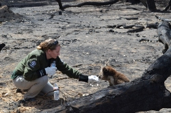 Humane Society International's Kelly Donithan, VG12, giving water to a koala bear as part of the disaster relief from the fires in Australia