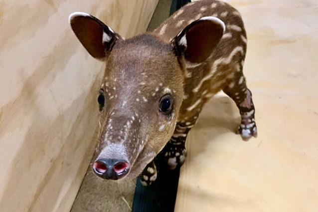 Image for A Tale of Two Tapirs