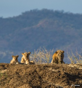Lions - Tufts Travel and Learn Africa Trip - Photo (c) 2104 C. Whittier