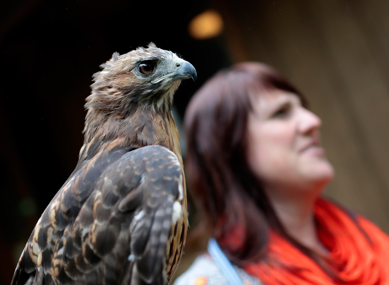 YORK, ME - SEPTEMBER 6: Executive Director Kristen Lamb holds Ruby, a red-tailed hawk, at Center for Wildlife in York. (Photo by Derek Davis/Staff Photographer)