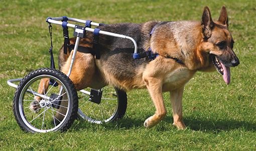 Cripples shepherd dog in a wheel chair on grassland