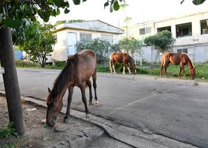 In search of food and water, free-roaming horses in on the island of Vieques in Puerto Rico often put themselves in harm's way. Photo by Meredith Lee/For The HSUS.