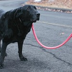 04/03/2015 -  Annabelle, a ten-year old black Labrador retriever takes a break while on a walk with her owner Erin Sieczkowski (off camera) in their neighborhood in East Hampton, Connecticut on Friday, April 3, 2015. Annabelle was successfully treated with surgery, radiation, and chemotherapy for anal sac adenocarcinoma at the Cummings School of Veterinary Medicine at Tufts University. (Matthew Healey for Tufts University)