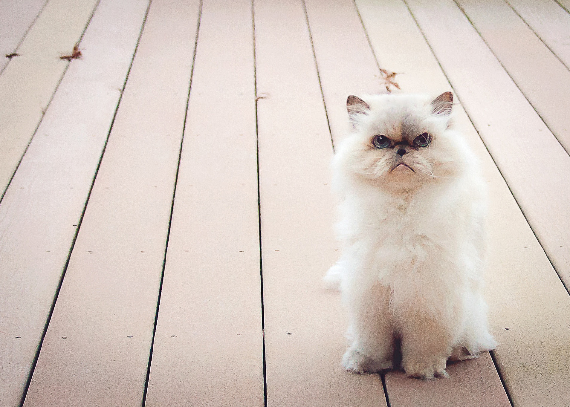 Owner Grateful for Care of Himalayan Cat's Chronic Kidney Disease
