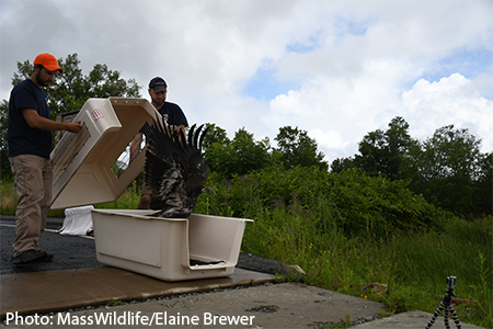 Watch these MassWildlife officials release young bald eagles