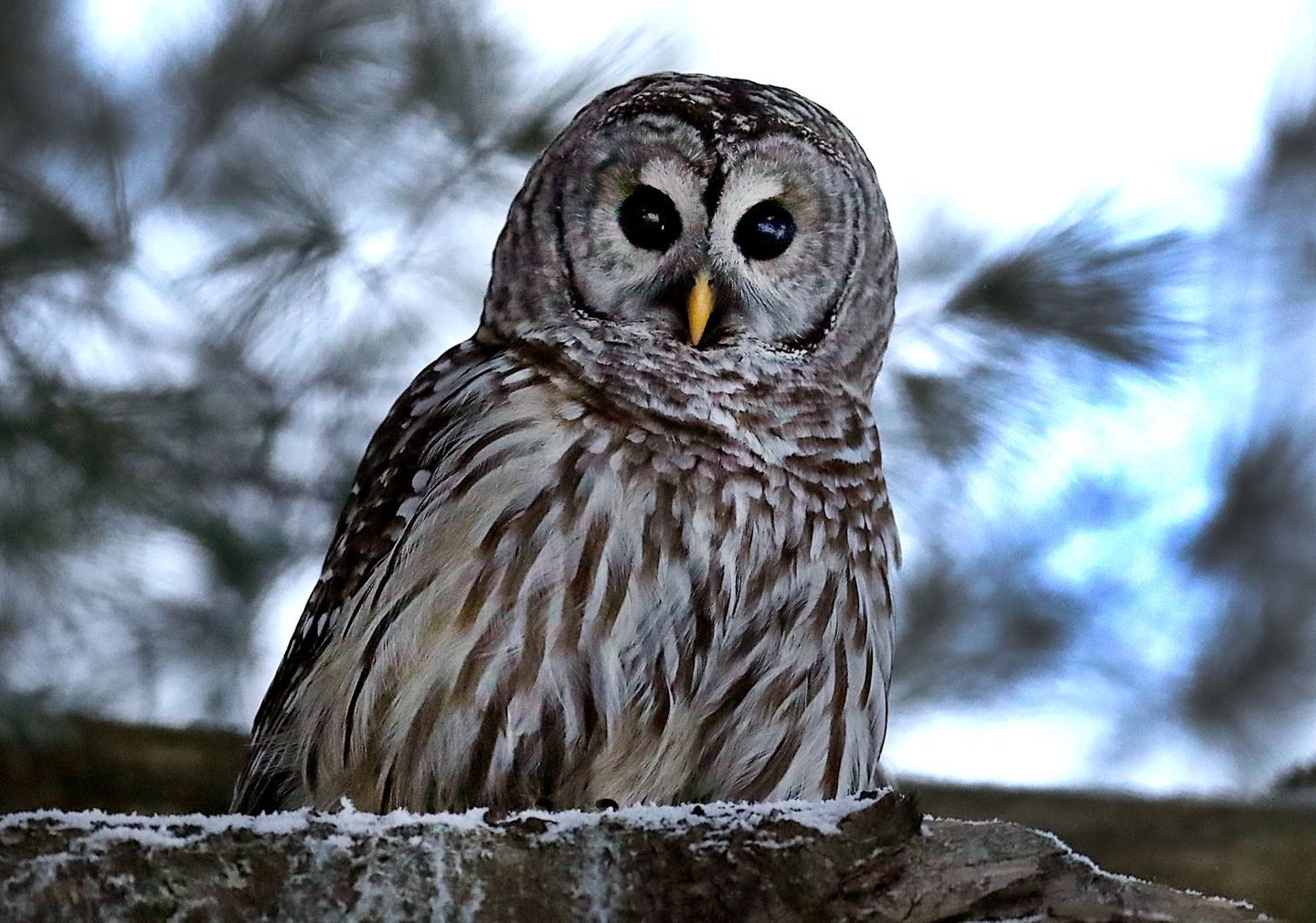 Barred Owl sitting on tree branch
