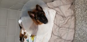 German Shepherd following repair of the hip luxation