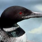 Common Loon head