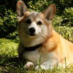 Congenital heart defect_corgi_creative common