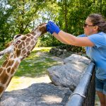 "Robin Kopplin is working on MAPP research project ""Chew on this: Evaluating welfare in Giraffa camelopardalis feeding encounter programs"""