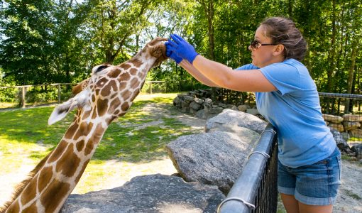 Chew on This: Evaluating Welfare in Giraffe Feeding Encounter Programs