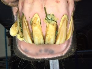 moderate points on the cheek teeth of all four quadrants and calculus, gingival recession and inflammation were noted to varying degrees on all incisors