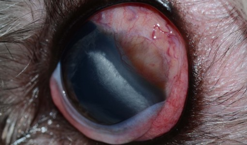 Clinical Case Challenge: Ophthalmology (Dog)