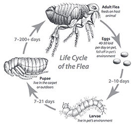 Fleas and your pet in the hospital