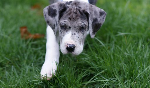 Dear Doctor: More — or less — Calcium for Large-Breed Puppies?