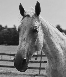 black and white photo of Conan, the Argentinian warmblood horse