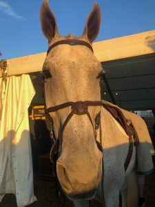 close-up of Conan, an 18.3-hand Argentinian warmblood horse, looking into camera