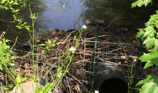 A beaver…deceiver. Living with wildlife near Cummings School's campus