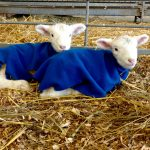 Students help on the farm during lambing season. They assist in everything from bottle feeding lamb who require extra nutrition, to tagging, and docking tails.