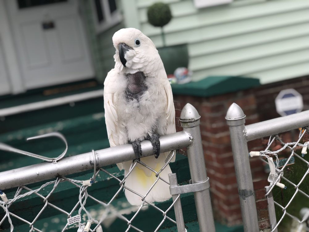 An umbrella cockatoo, named Izzy, is perching on a fence screeching