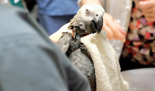 Belleza, an African Grey visits Foster Hospital for Small Animals
