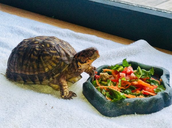 Little turtle eating vegetables from a pet dish