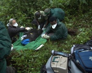 Lucy working on a mountain gorilla's snare removal in Rwanda in 2009