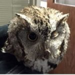 Owl found in salem_Hoo