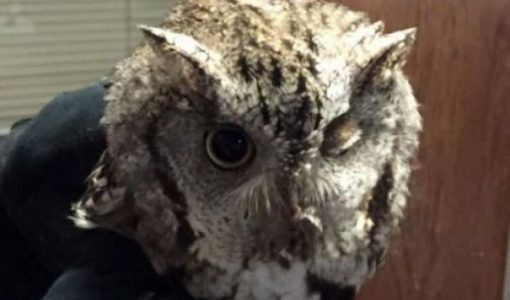 Owl Found In Salem Getting Treatment