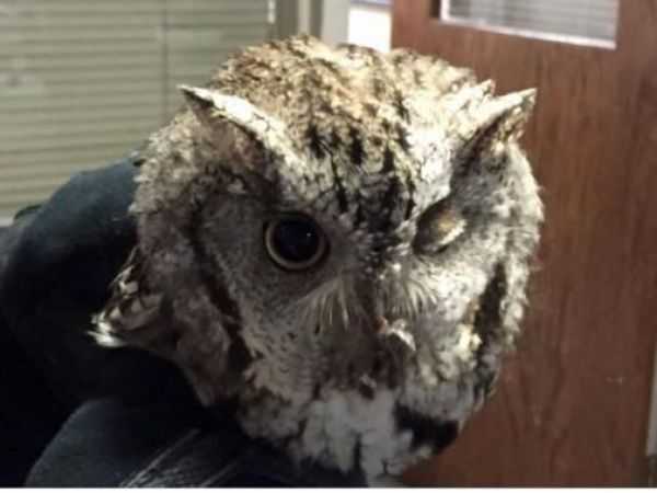 Image for Owl Found In Salem Getting Treatment