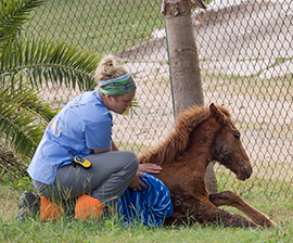 Kali Pereira of The HSUS comforts an injured foal who'd been attacked by stray dogs while wandering the island. Photo by Meredith Lee/The HSUS.
