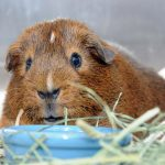 Pick 001 b The aptly named Guinea pig Pig