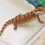 Pick 016 b Crouton, the Bearded Dragon lizard,