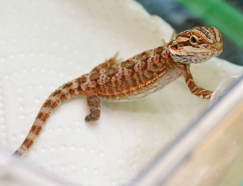 Evaluation of Enrichment for Reptiles in Zoos