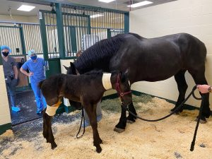 A mare and her filly resting in a recovery room at Tufts Equine Center