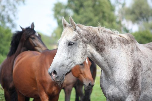 Gray latvian breed horse portrait at the grazing