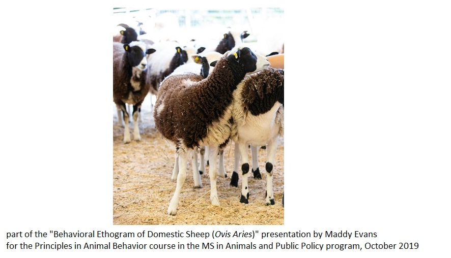 Slide4 just sheep - e - Maddy Evans
