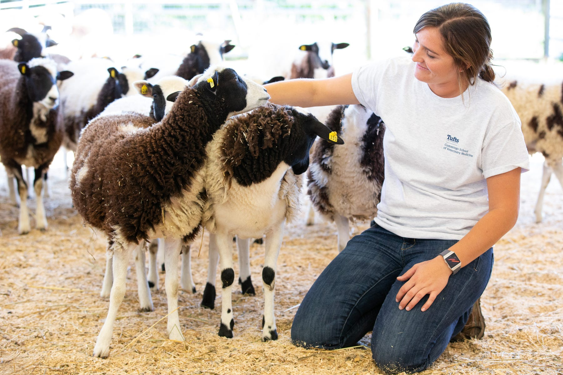 Stephanie Bertrand, assistant farm manager at Cummings School Farm at Cummings School of Veterinary Medicine at Tufts University, provides care for the Jacob sheep that are integral to the research being led by University of Massachusetts Medical School.