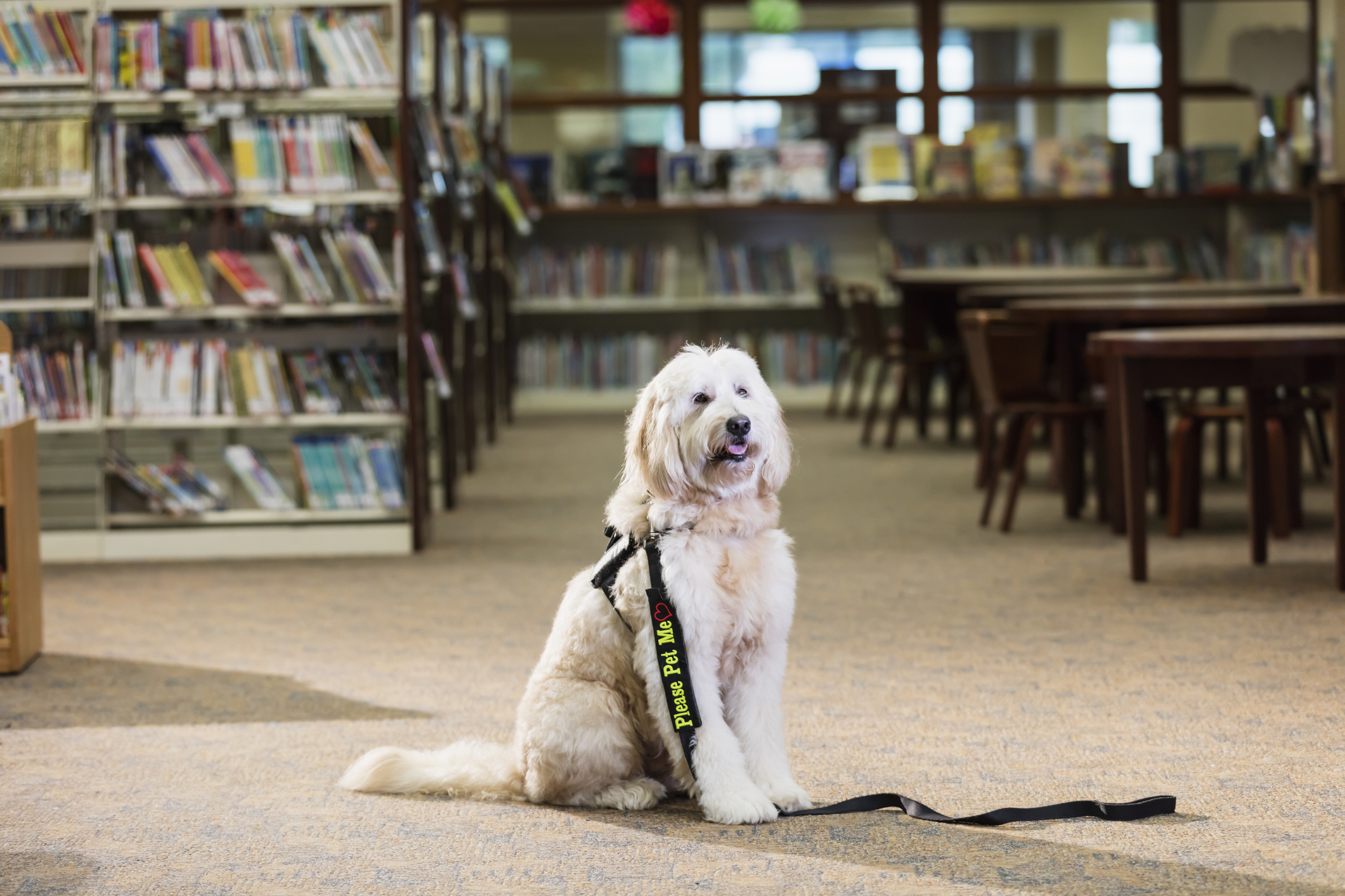 goldendoodle therapy dog sitting in a library trained to listen to children read