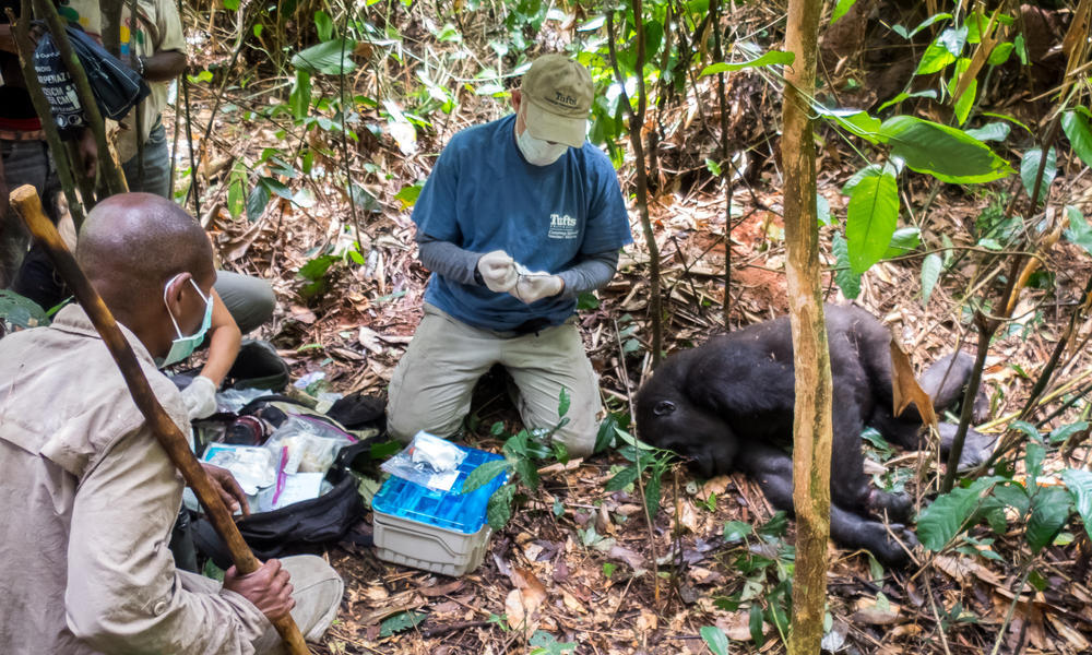 WWF leads snare removal from injured female gorilla