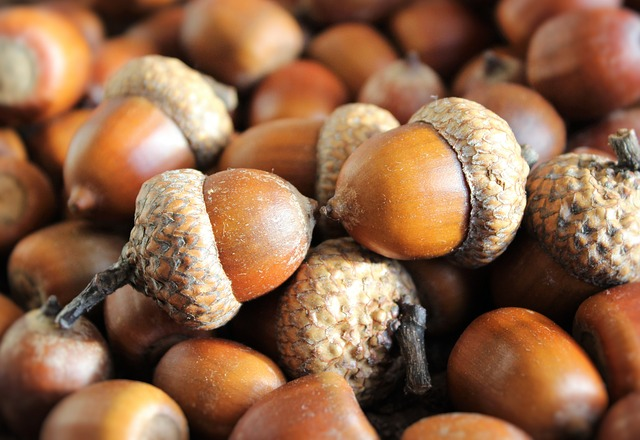 Image for Ask the Expert: The Truth About Acorn Toxicity